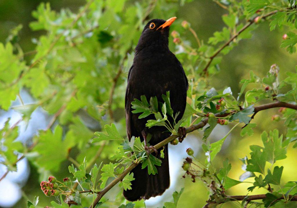 A male blackbird sitting in a tree